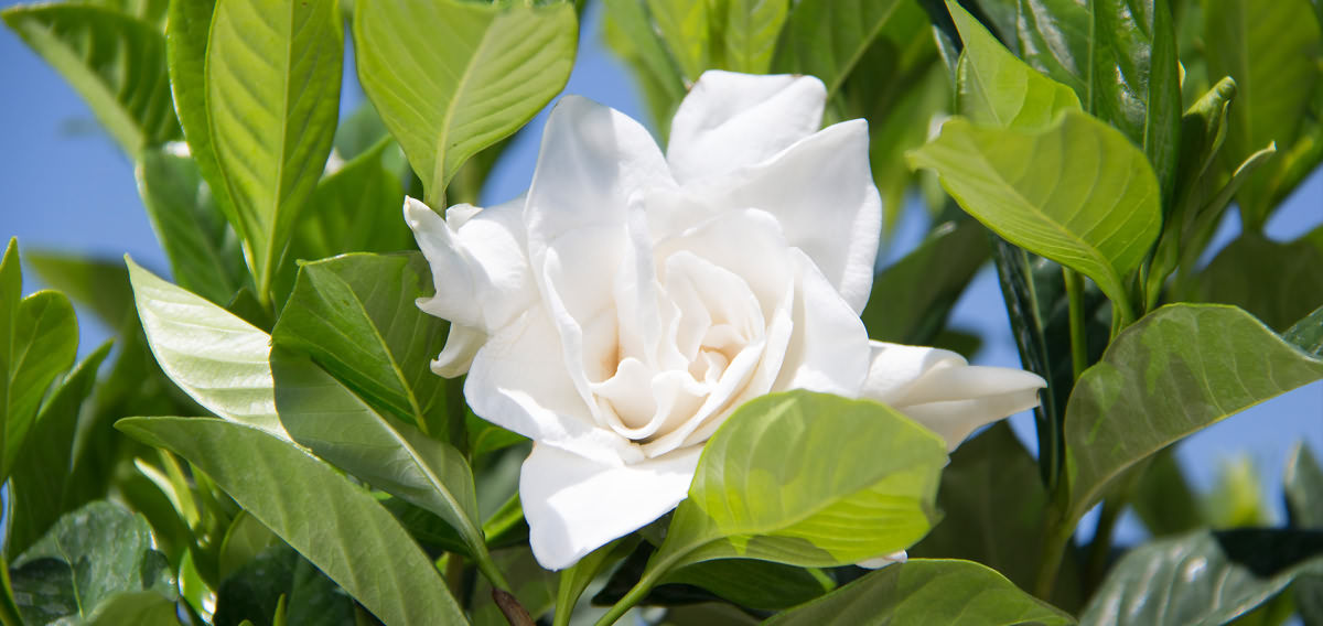 Various Types of Gardenia Design Ideas.